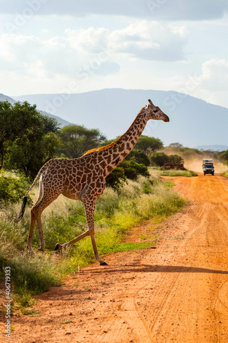 Solitary giraffe crossing the track