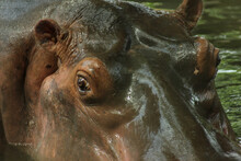 The Head And Eyes Of A Hippopotamus Submerged In Water When Viewed Up Close