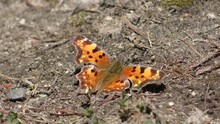 Old Decrepit Butterfly Flapping Wings In Spring In Wyoming Bighorn Mountains
