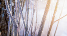 Winter Tree Branches On A Frosty Morning. Natural Background