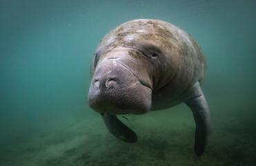 A manatee underwater in Florida