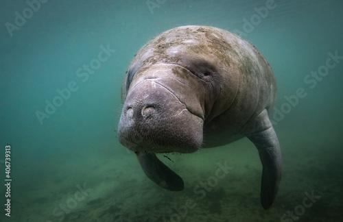 Fotografie, Obraz A manatee underwater in Florida
