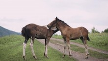 Two Foals Rub Against Each Other In A Green Meadow In Altai
