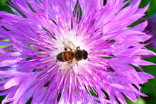A Honey Bee Pollinates Wild Flowers. The Global Problem Of Extinction Of Bees, Pollination Of Plants With Insects., Soft Focus, Close-up Macro Image With Blurred Background.