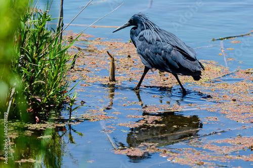 Fotografie, Obraz Aigrette ardoisée,.Egretta ardesiaca, Black Heron