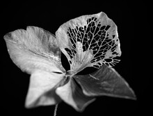 Decaying Hydrangea Flower In Black And White