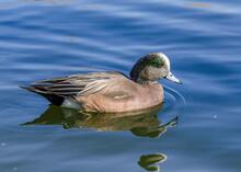 American Wigeon (Mareca Americana), Supulveda Wildlife Reserve In Van Nuys, CA.