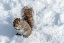 Eastern Gray Squirrel Sitting On Snow