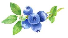 ブルーベリーの枝 水彩画