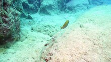 Slow Motion Dusky Spinefoot Fishe Movements Underwater