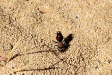 Badge Velvet Ant (Ephutomorpha Maculata), South Australia