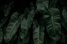 Dense Dark Green Leaves In Garden At Night. Green Leaf Texture. Ornamental Plant. Green Leaves In Forest. Botanical Garden. Greenery Wallpaper For Spa Or Mental Health. Nature Abstract Background.