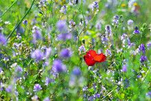 Red Poppy Flower  In The Clover Field