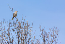 Chalked-Browed Mockingbird (Mimus Saturninus) Sitting On A Tree In The Serra Do Cipo National Park In Minas Gerais, Brazil