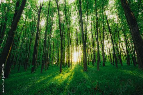Fototapeta spring forest trees. nature green wood sunlight backgrounds. obraz na płótnie