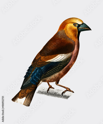 Fototapeta Hawfinch (Gros-bec commun) illustrated by Charles Dessalines D'Orbigny (1806-1876)