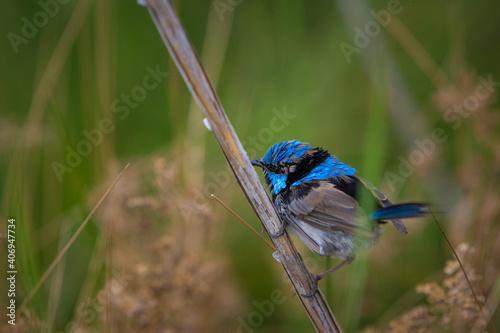 Stampa su Tela blue fairy wren on plant