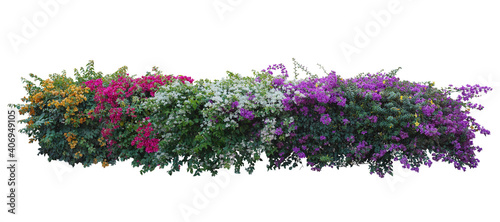 Fotografía Large bush flower spreading shrub of purple, pink, yellow, red, Bougainvillea tropical flower climber vine landscape plant isolated on white background with copy space and clipping path