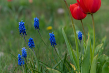 Grape Hyacinths And Tulips In A Spring Field. Belarus