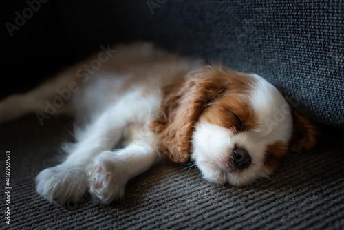 Fototapeta King Charles Cavalier Spaniel Puppy