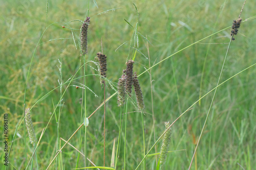 Fototapeta the wild brown carex weed plant.