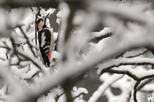 Great Spotted Woodpecker On Winter Tree