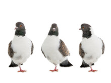 German Pigeons Modena Standing On One Leg Isolated On White Background