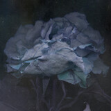 Dark Wilted Beautiful Rose Underwater Art Illustration. Night Flower Close Up Decadence Beautiful Rose Image, Gothic Romantic Wallpaper.  - 406990369