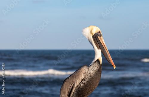 Fototapeta Brown pelicans at Boynton Beach Inlet