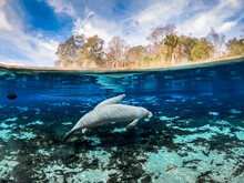 Mother And Baby Manatee