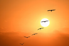 Pelicans In Formation At Sunrise