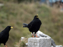 Two Jackdaws (Corvus Monedula) In The Mountains