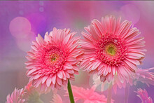 Two Pink Gerbera Daisies,textured Background