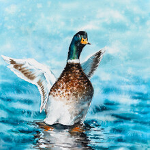 Mallard Duck Stretching Its Wings While Resting On The Water. Watercolors Painting.