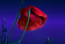Red Poppy Flower. Red Poppy Flower With Water Drops. Delicate Red Poppy Flower In The Drops Of Rain