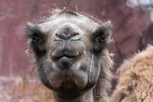 Head Of A Camel Camellia Bactrianus.