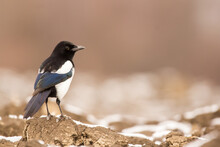 Magpie (Pica Pica) Or Eurasian Magpie Or Common Magpie In The Fields On The Ground, Black White And Blue Corvid Bird Intelligent Omnivorous Crow In Corvidae Family