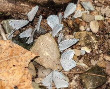 A Cluster Of Eastern Tailed Blue Butterflies Feeding Together.