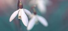 Snowdrops On Bokeh Background In Spring Garden