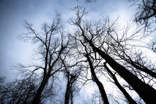 Bare Winter Trees And Branches Looking Upwards