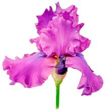 Iris Bud Purple Petals