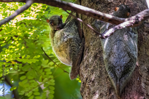 Fototapeta premium Flying Lemur (Galeopterus variegatus) attached to a tree in a tropical forest in South East Asia