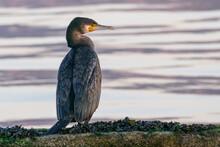 Cormorant Standing On A Rock Phalacrocorax Carbo..