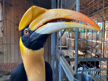 The Hornbills (Bucerotidae) Are A Family Of Bird Found In Tropical And Subtropical Africa, Asia And Melanesia. Hornbills Are Usually Large Birds And Vary In Coloring. They Are Noted For The Presence.