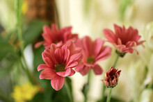 Focus On Foreground Of Red Fresh Flowers In A Pot