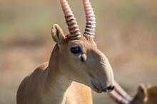 Portrait Of Male Saiga Antelope Or Saiga Tatarica