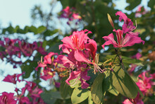 Bouquet Of Beautiful Purple Bauhinia Purpurea Flowers (butterfly Tree, Purple Orchid Trees), A Popular Ornamental Flowering Tropical Plant Commonly Known As Lal Kachnar Or Koiralo In India.