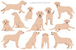 Labrador retriever dogs in different poses and coat colors. Adult and puppy dogs