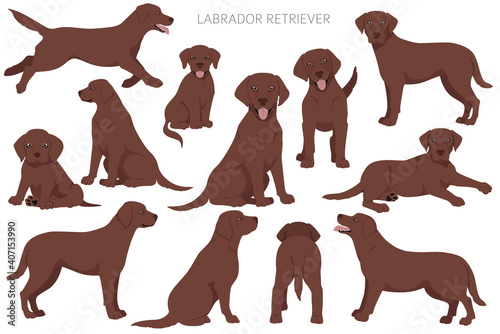 Fotografie, Obraz Labrador retriever dogs in different poses and coat colors