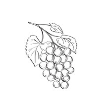 Line Art Drawing Illustration Of Fruit Of  Elder, Elderberry Or Sambucus, A Genus Of Flowering Plants In The Family Adoxaceae Done In Monoline Tattoo Style On White Background In Black And White.